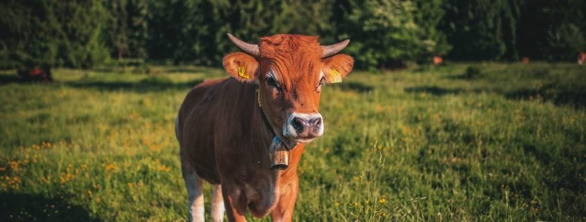 A cow in pasture